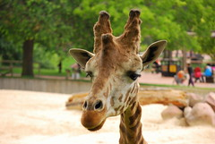 Giraffa camelopardalis reticulata DT [ES Zoo Madrid] (5)