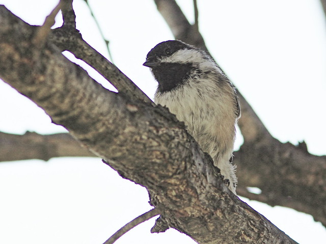 Black-capped Chickadee 20150926