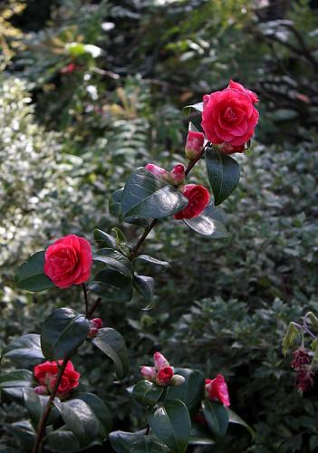 Camellia rouge