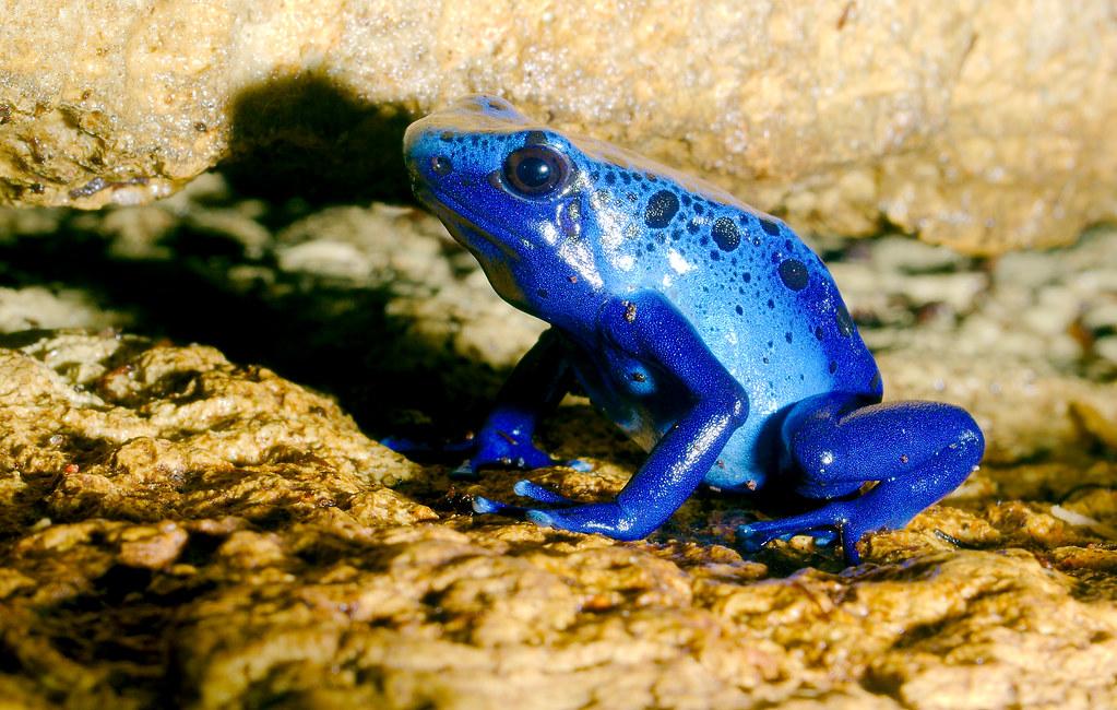 Blue Poison Dart Frog_3