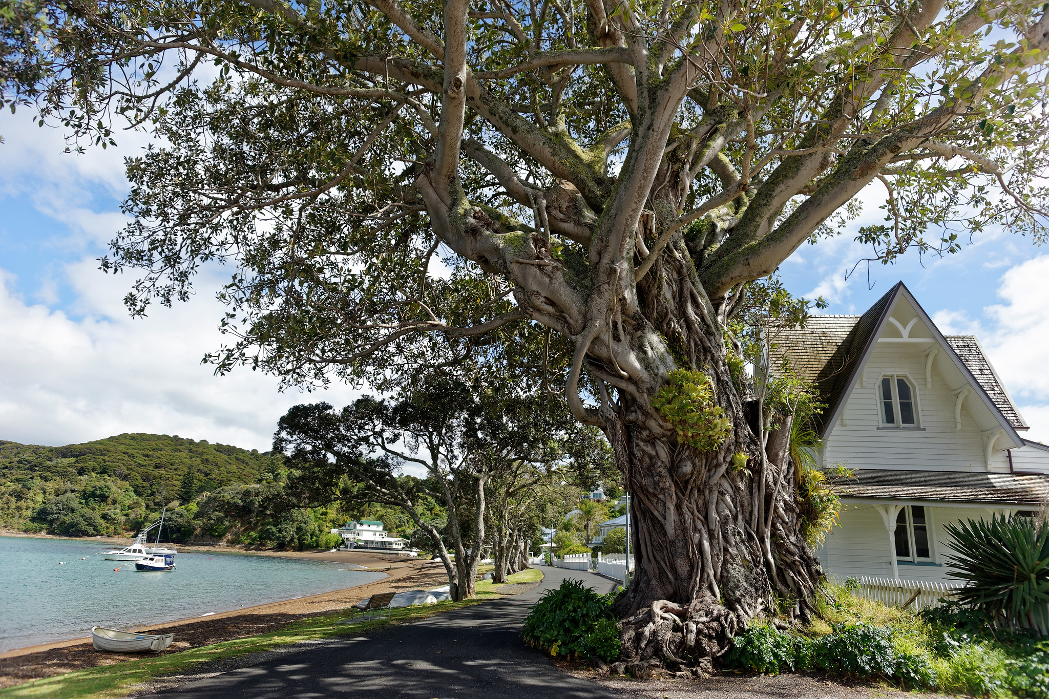 Moreton Bay Fig Tree - Russell, New Zealand