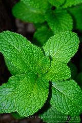 Fresh Mint by Kaye Menner