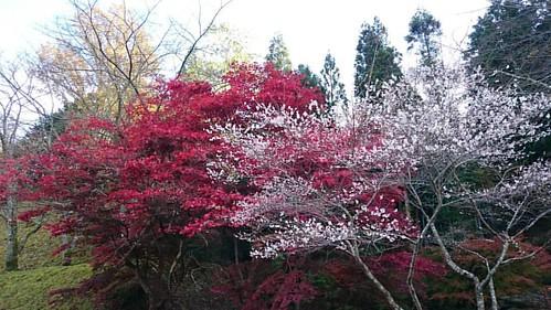 んで、豊田市大原の四季桜と椛