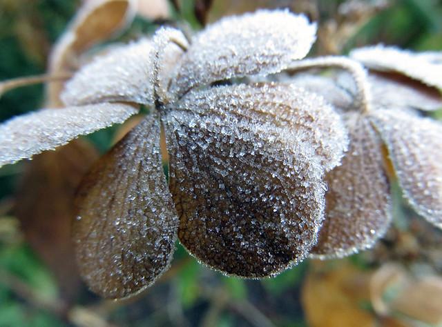 Frost on a dead Hydrangea flower in a 'Depth of Field' experiment