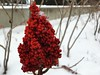 Red Flower and Snow