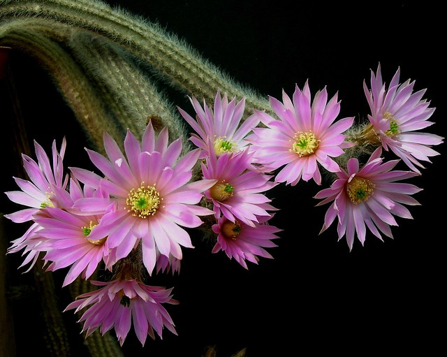 Echinocereus schmollii, Nikon E4600
