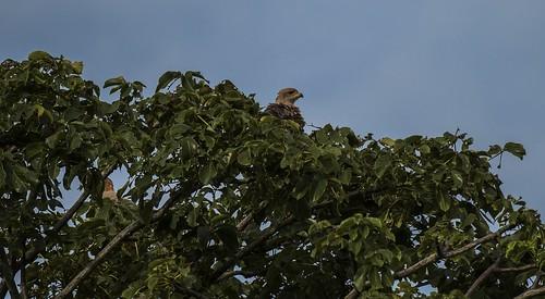 provinciadecoclã© panama provinciadecoclé savannahawk buteogallusmeridionalis nesting