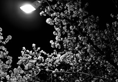 too early the pear blossoms on a cold dark night