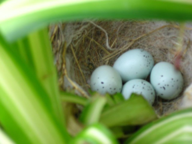 Purple finch nest with eggs | Flickr - Photo Sharing!