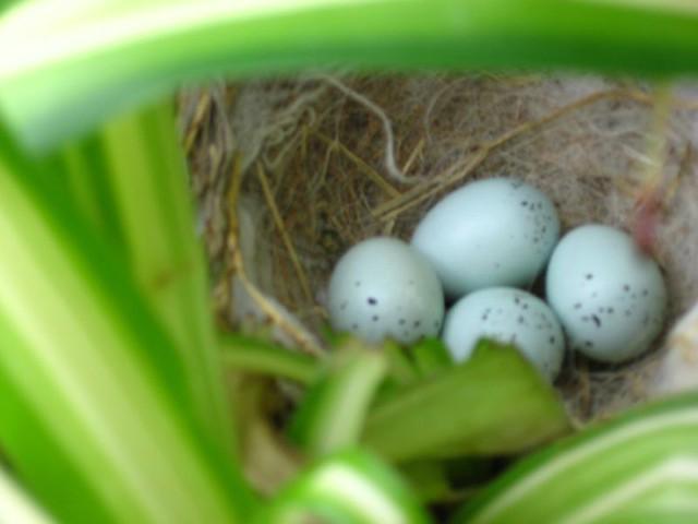 Purple Finch Nest Purple finch nest with...