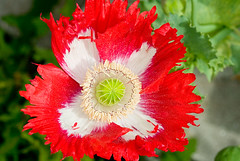 annual plant, flower, red, plant, macro photography, wildflower, flora, close-up, petal, poppy,