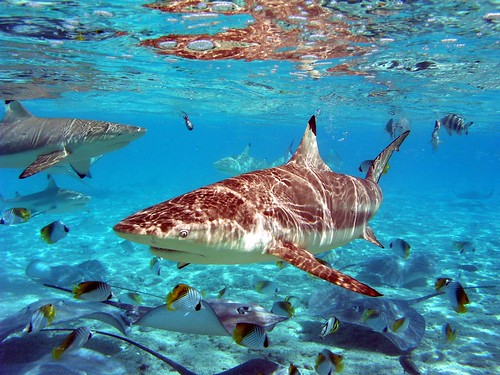 Shark feeding in Bora Bora, French Polynesia