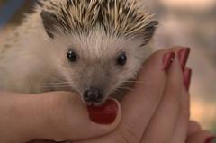 virginia opossum(0.0), common opossum(0.0), animal(1.0), domesticated hedgehog(1.0), erinaceidae(1.0), fauna(1.0), whiskers(1.0),