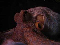 fish(0.0), animal(1.0), brown(1.0), octopus(1.0), marine biology(1.0), invertebrate(1.0), macro photography(1.0), marine invertebrates(1.0), close-up(1.0),