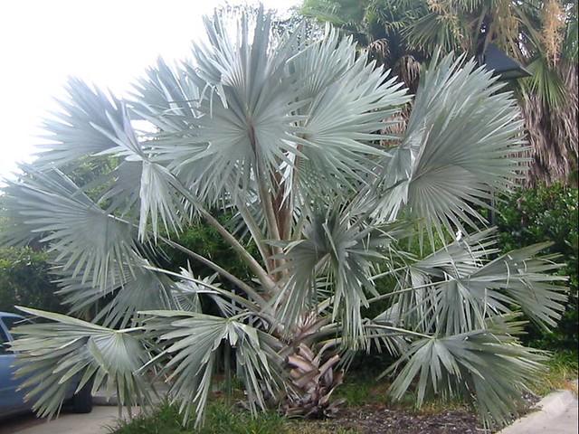 trees palm blue - photo #22