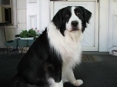 border collie, dog breed, animal, moscow watchdog, dog, pet, landseer, tornjak, karakachan dog, english shepherd, carnivoran,