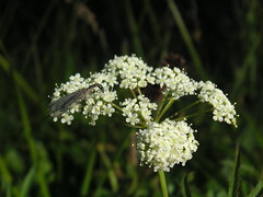 apiales, flower, cow parsley, cicely, plant, anthriscus, wildflower, flora, angelica, meadowsweet, caraway,