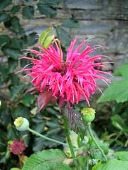 flower, plant, bee balm, scarlet beebalm, herb, wildflower, flora,