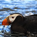 Tufted Puffin - Photo (c) Nic McPhee, some rights reserved (CC BY-SA)