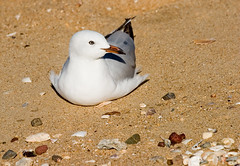 Sea Gull on Sand-01+