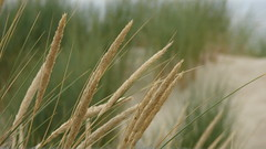 hordeum, prairie, agriculture, triticale, rye, food grain, barley, wheat, plant, phragmites, close-up, crop, cereal, plant stem,