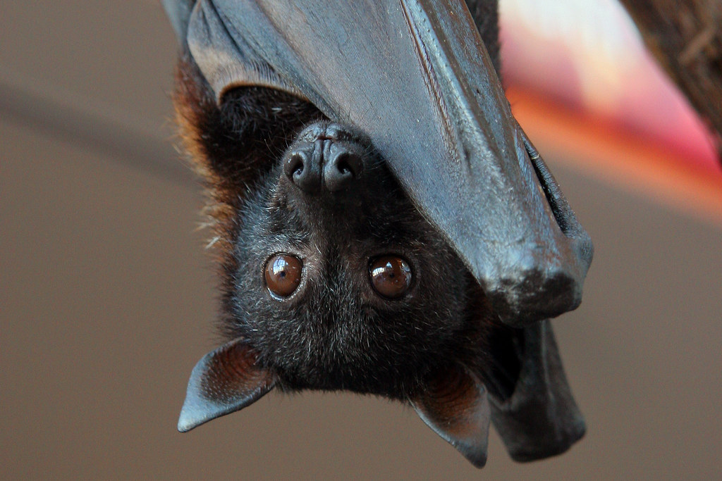 Large Flying Fox - Photo (c) ANDREA JANDA, some rights reserved (CC BY-NC-ND)