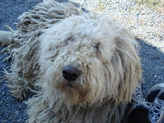 schnoodle(0.0), pumi(0.0), lagotto romagnolo(0.0), glen of imaal terrier(0.0), komondor(0.0), old english sheepdog(0.0), livestock guardian dog(0.0), dog breed(1.0), animal(1.0), dog(1.0), pet(1.0), polish lowland sheepdog(1.0), south russian ovcharka(1.0), poodle crossbreed(1.0), catalan sheepdog(1.0), sapsali(1.0), bergamasco shepherd(1.0), irish soft-coated wheaten terrier(1.0), goldendoodle(1.0), spanish water dog(1.0), barbet(1.0), carnivoran(1.0),