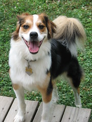 tibetan spaniel(0.0), scotch collie(0.0), phalã¨ne(0.0), miniature australian shepherd(0.0), australian shepherd(0.0), english shepherd(0.0), shetland sheepdog(0.0), icelandic sheepdog(0.0), dog breed(1.0), animal(1.0), kooikerhondje(1.0), dog(1.0), pet(1.0), carnivoran(1.0),