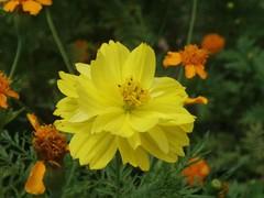 calendula(0.0), nectar(0.0), marguerite daisy(0.0), chamaemelum nobile(0.0), annual plant(1.0), prairie(1.0), flower(1.0), garden cosmos(1.0), yellow(1.0), plant(1.0), herb(1.0), wildflower(1.0), flora(1.0), sulfur cosmos(1.0), petal(1.0),