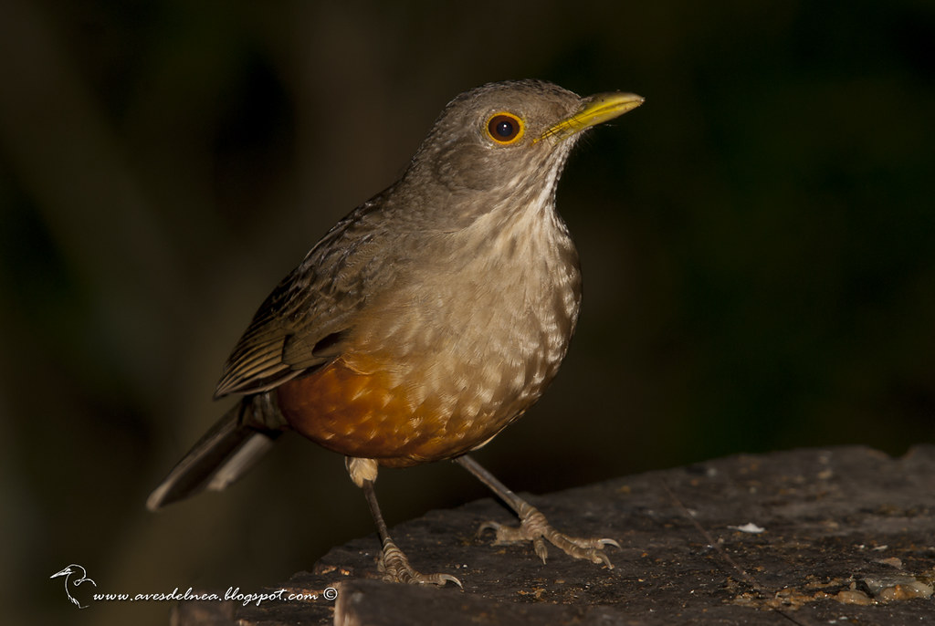 Zorzal colorado ( Rufous-bellied Thrush) Turdus rufiventris