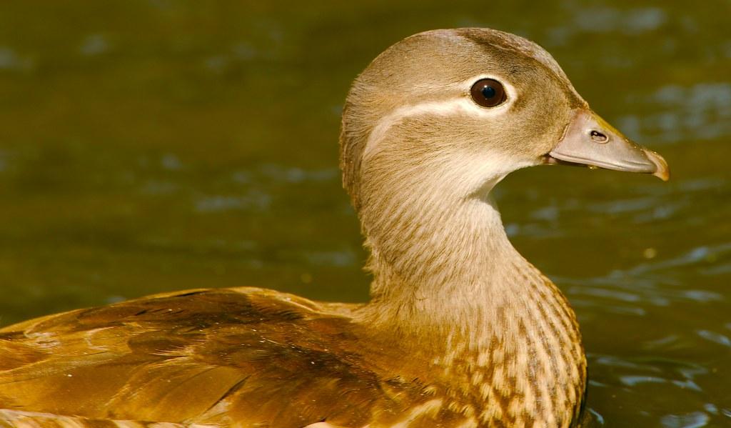 Duck_37