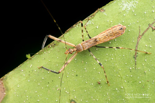 Assassin bug (Reduviidae) - DSC_2514