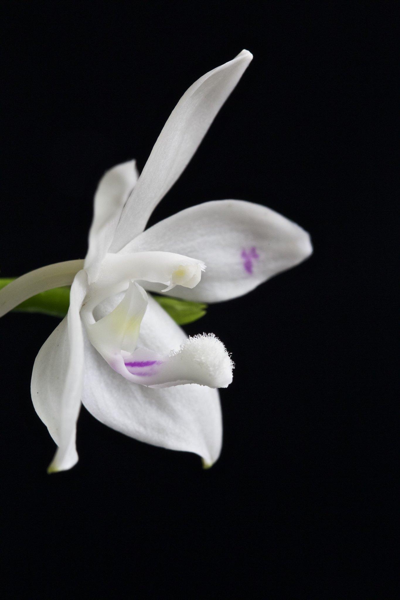 Phalaenopsis tetraspis 21192323421_644eb9da93_k