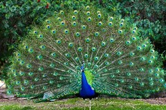 Peacock_With_Fanned_Tail