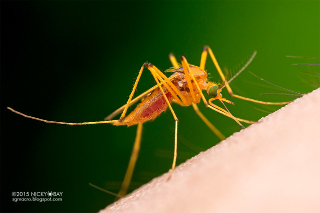 Mosquito (Culicomorpha) - DSC_8591