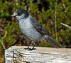 Gray Jay by autumnhillswoollens685