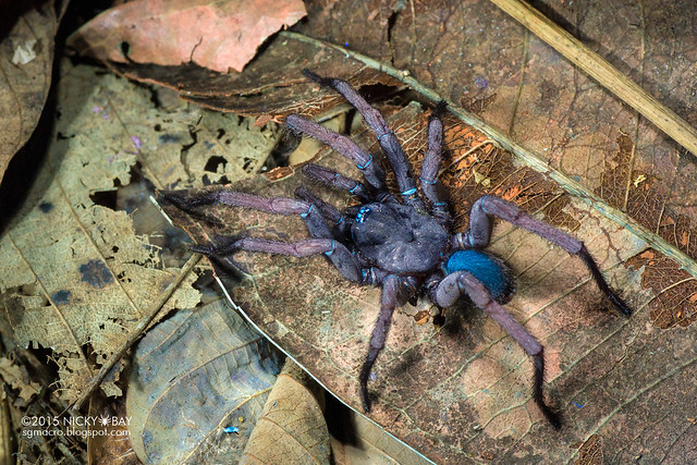 Tube trapdoor spider (Damarchus workmani) - DSC_6274