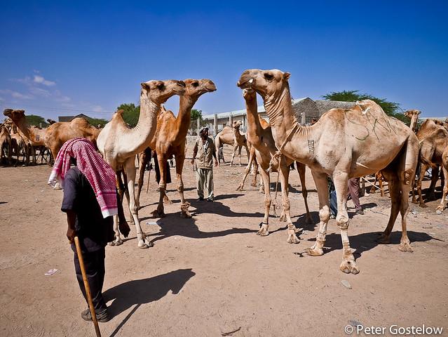 Livestock market in Hargeisa