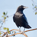 American Crow by Patricia Ware