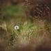The last dandelion by Tammy Schild