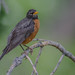 Small photo of American Robin ...watching