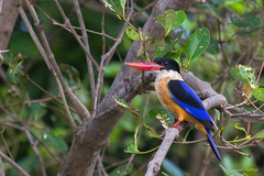 black-capped-kingfisher_28486268155_o