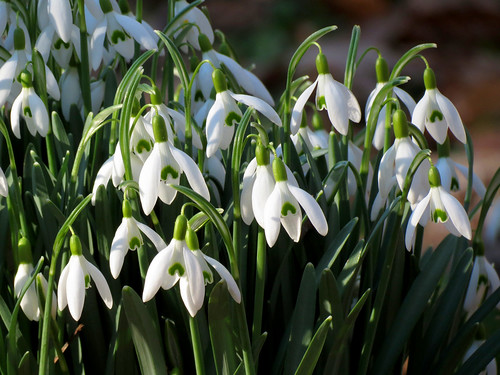 Snowdrops | by treegrow