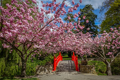 Red Bridge under the cherry blossoms