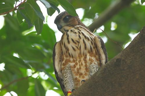 藉由標記辨識個體,可以追蹤幼鳥離巢後的存活狀況。攝影:楊明淵。