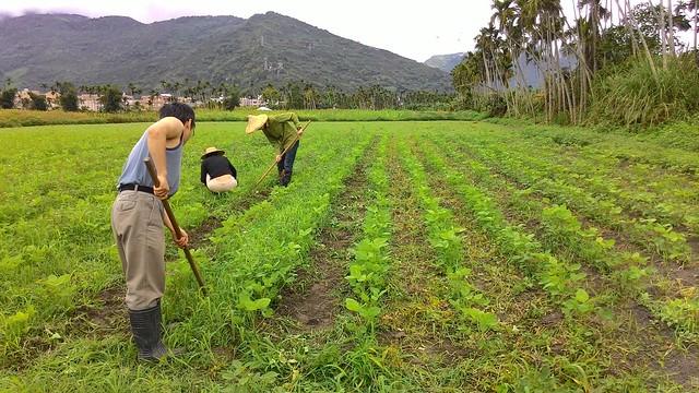 光復自然田用「純手工」栽植的黃豆園。照片提供:劉燕霖。