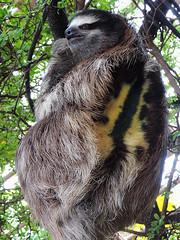 Dallas - Sloth