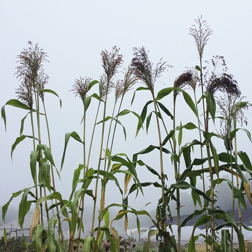 Here comes fall! #summersend #Brookfieldfarm #amherstma #corn