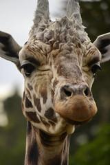 Giraffa camelopardalis DT [NZ Auckland Zoo] (5)