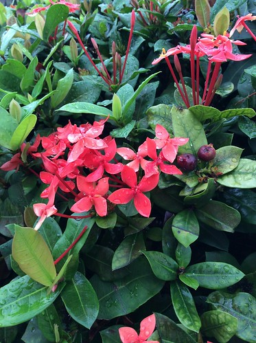 Ixora blooming red flowers after the rain St. Andrew, Jamaica